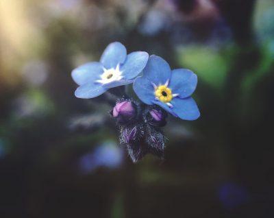 O floare de Nu-mă-uita